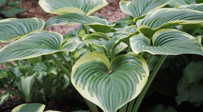 Hosta Irish Luck and Hosta Victory