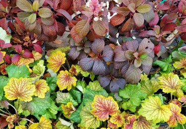 best shrubs for fall color