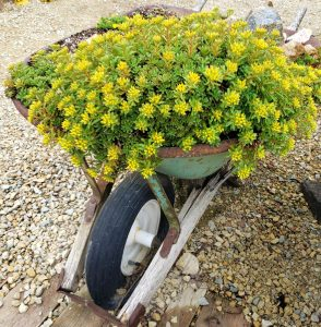 Perennials for Container Gardening