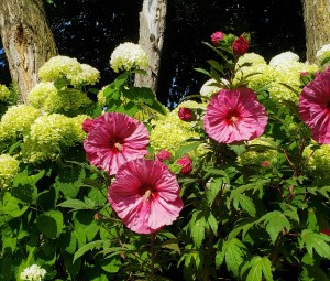 Hardy Hibiscus: Tropical Flare in the Midwest Garden