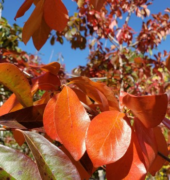 Black gum fall color