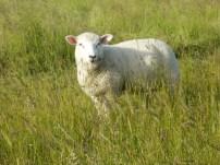 friendly cute sheep...