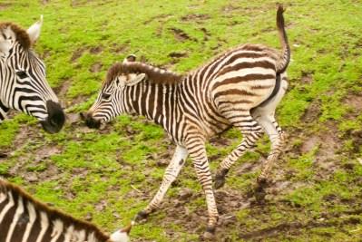 Hyperactive baby zebra.