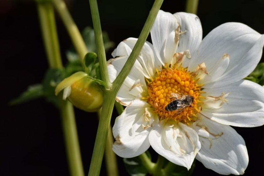 white dahlia bee (1024x683) (2)