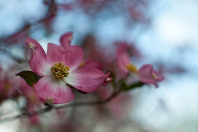 pink dogwood tree blossom