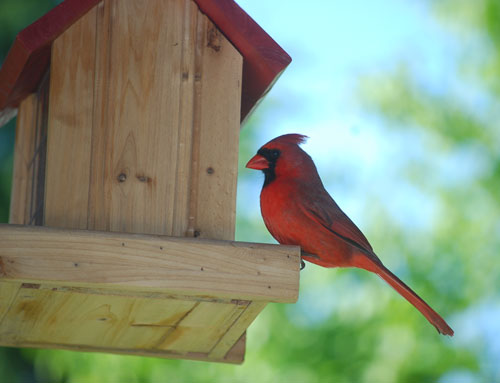 Lovely cardinal frequenting Joe's feeder