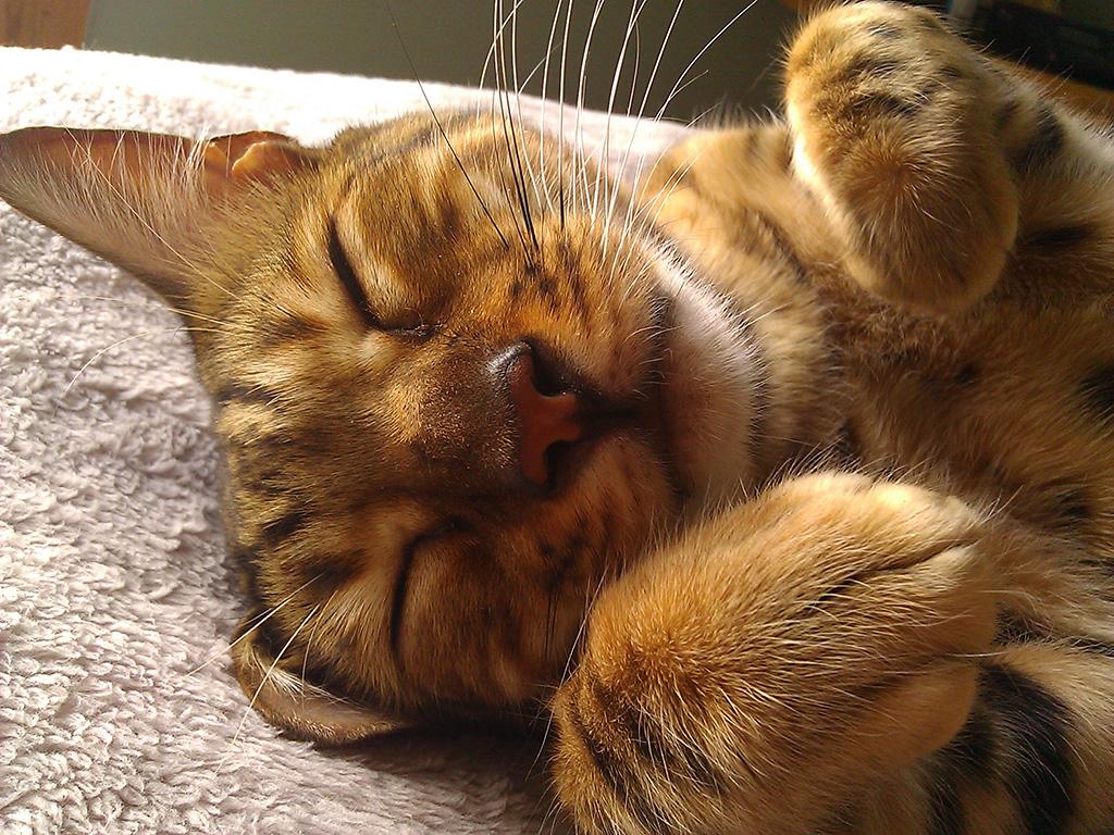 kipling_sleeping_adorable