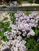 lilac bush-6