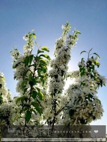 lilac tree-1