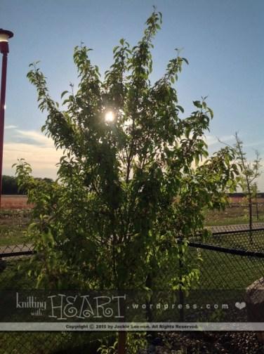 lilac tree-8