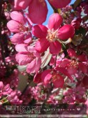 apple blossoms-1