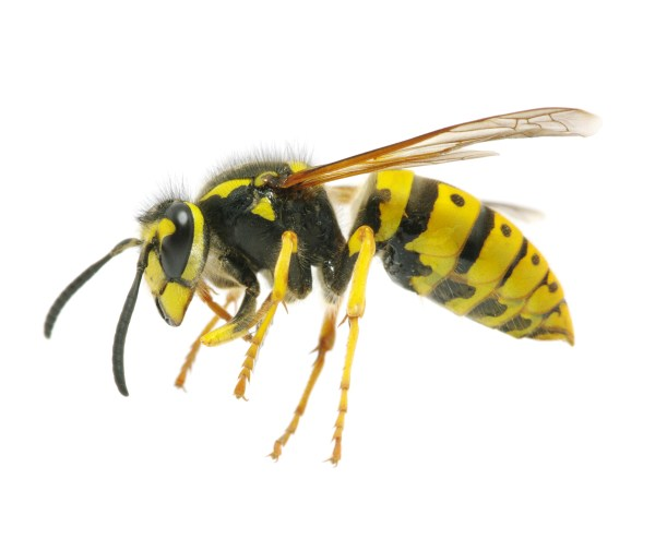 Wasps Problems | Pest Control Long Island | NYC | Westchester