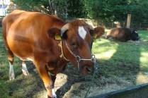 Speciale koeien - Special cows