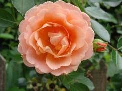 Engelse roos! English rose!