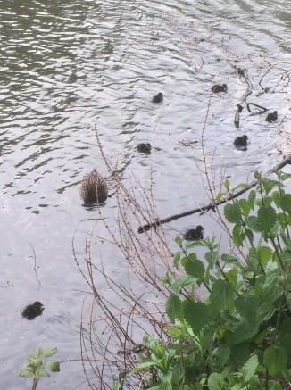 ducklings york uni lake