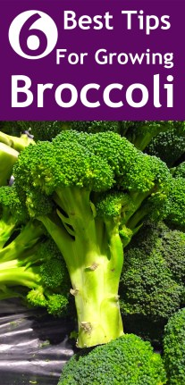 6 Best Tips For Growing Broccoli
