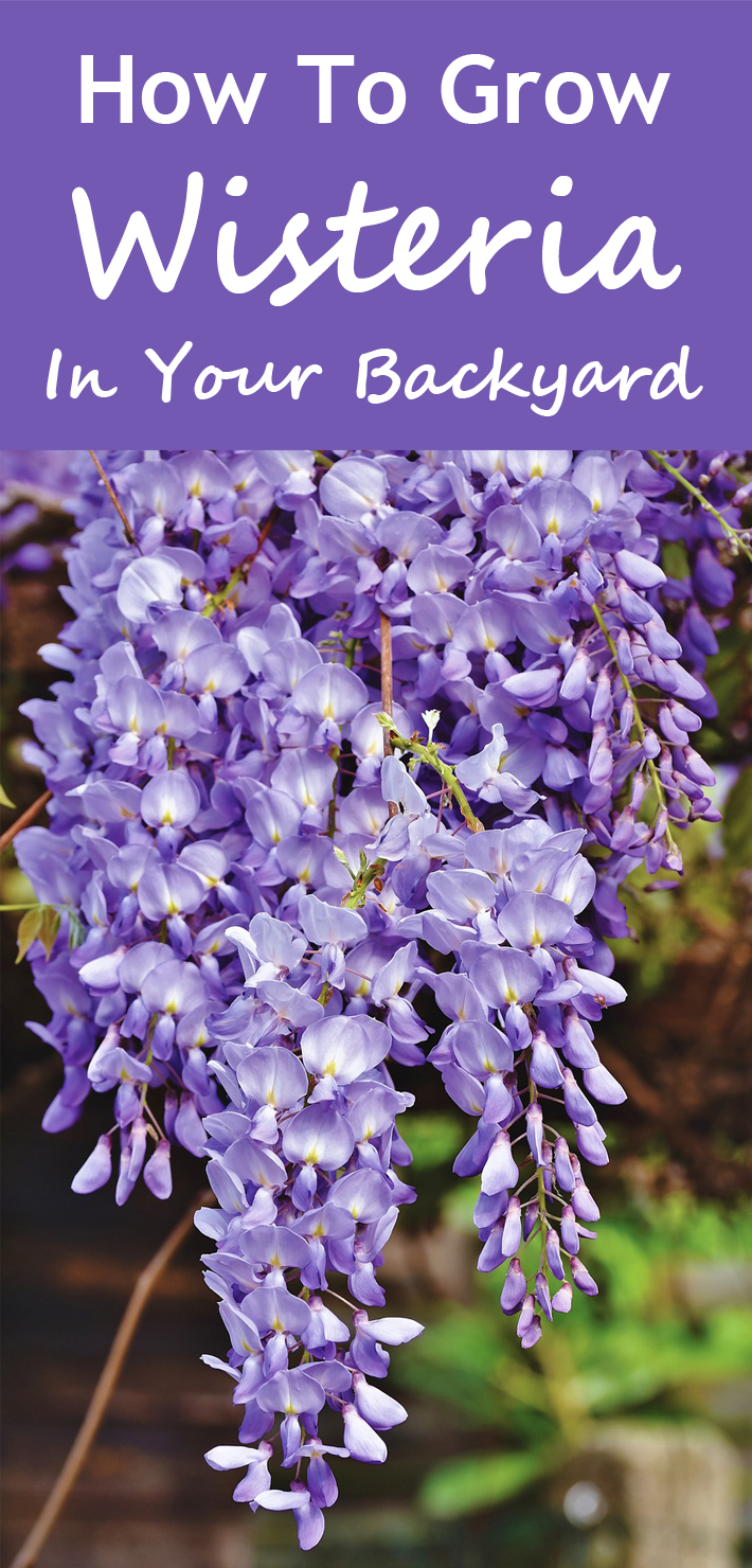 How To Grow Wisteria In Your Backyard - Know 2 How