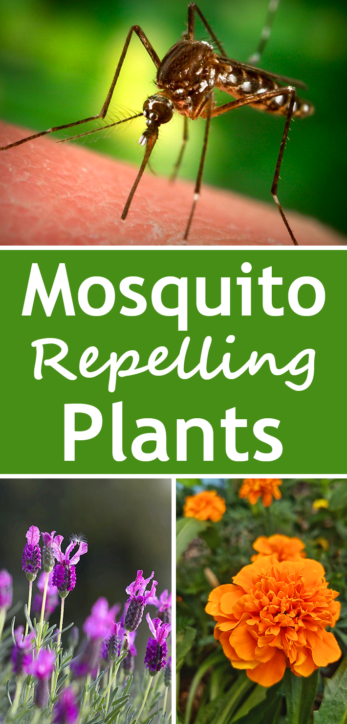 7 Best Mosquito Repelling Plants - Know 2 How