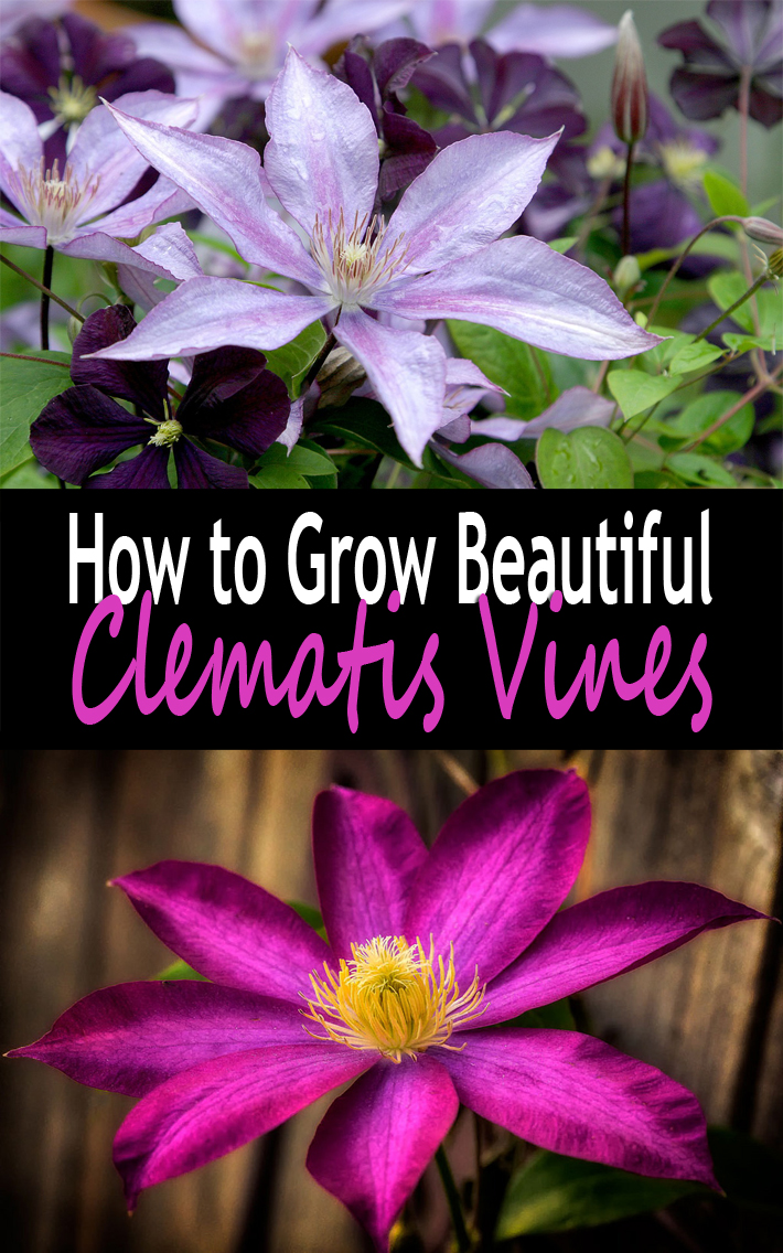 How To Grow Beautiful Clematis Vines