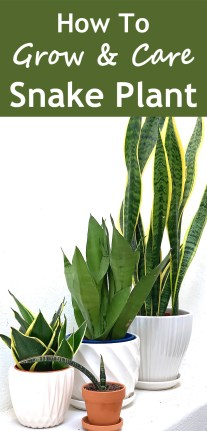 How To Grow And Care For Snake Plant