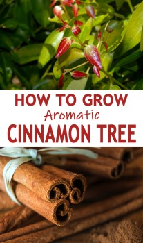 How To Grow Aromatic Cinnamon Tree