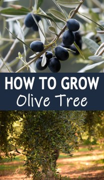 How To Grow Olive Tree