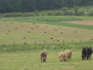 heres-another-picture-of-the-grazing-cows-with-bales-of-hay-then-csa-garden-in-the-background