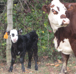 """Beatrice"", the new little Shorthorn/Hereford calf, stands in the east pasture with her mother."