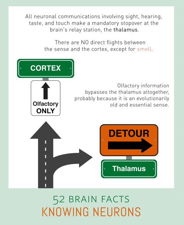 Myth or Fact? All human senses take the most direct route possible from sensory neurons to the cortex.