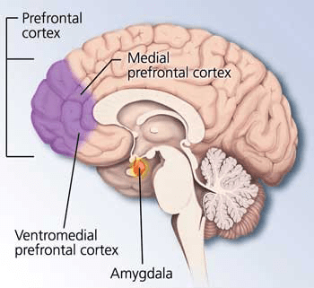 Amygdala and ventromedial prefrontal cortex via Knowing Neurons