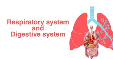 How does the respiratory system work with the digestive system