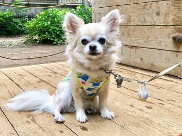 【室内犬】散歩でしかトイレをしない理由は?犬のしつけについて
