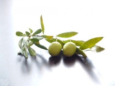 オリーブの栽培は寒冷地でも可能?栽培できる地域と栽培の方法