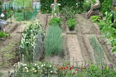 家庭菜園の大葉が硬い!硬くなる原因と対策・大葉の上手な育て方