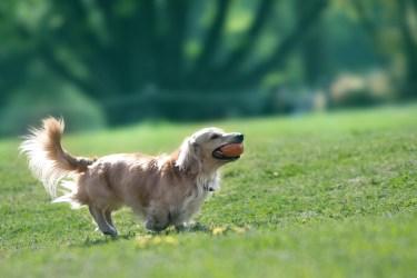 犬が靴下を履いたら歩き方がぎこちない様子と靴下のメリット