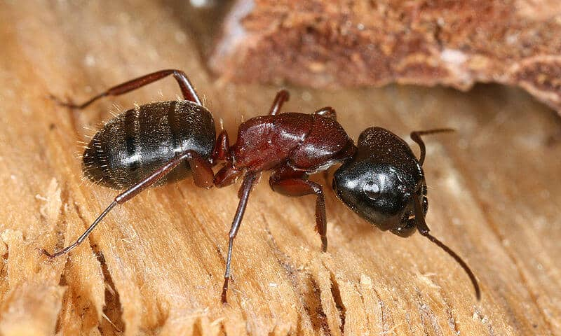Identifying a carpenter ant