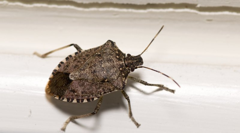DIY Stink Bug Spray