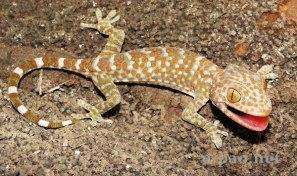 creepy gecko