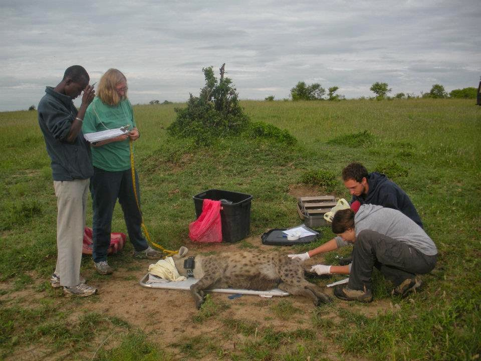 Dr. Kay Holekamp with research assistants in the field.