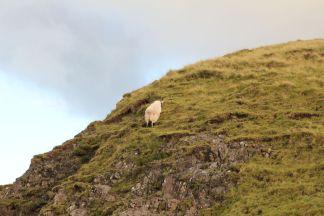Flüchtendes Schaf