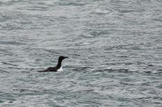 Diese kleinen Tiere nannte die Tourführerin die Pinguine des Nordens. Bei den Nahaufnahmen kann man das auch verstehen - auch wenn die Viecher sich doch eher vogeliger benehmen