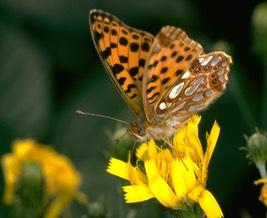 butterfly_med