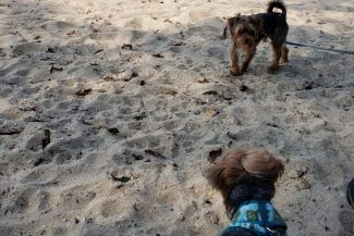 wong dogs ruby and chip playing in sand