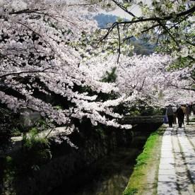 Cherry Blossom, Kyoto, Japan