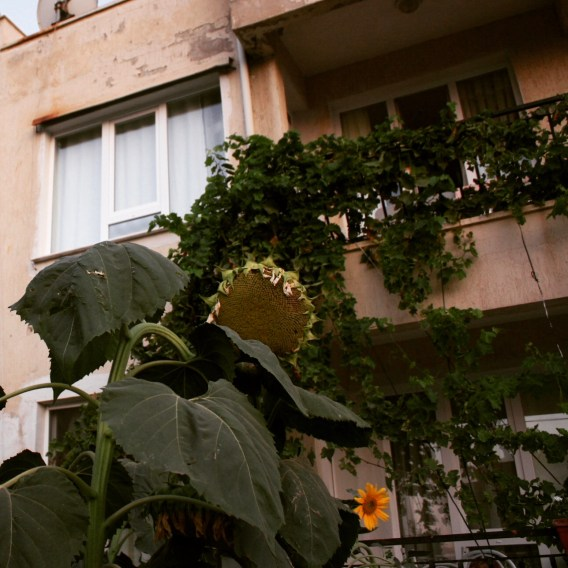 The size of the Sunflower is HUGE! and it's a story high in Turkey