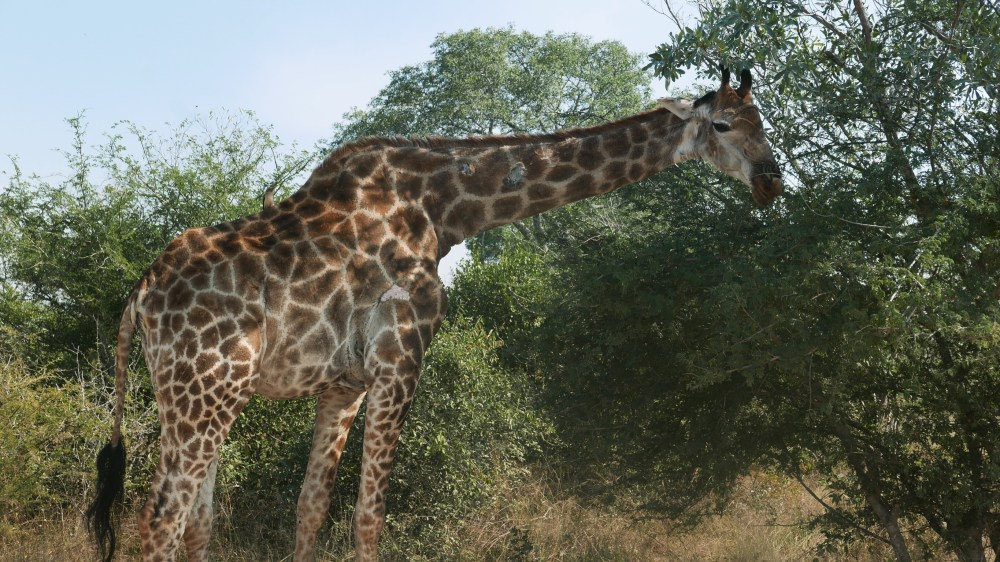 South Africa, Kruger - Safari Giraffe (2)
