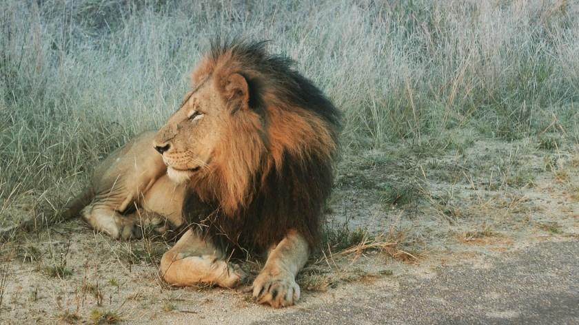 South Africa, Kruger - Safari Lion (2)