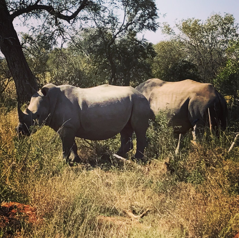 South Africa, Kruger - Safari Rhino