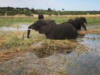 Elephant in Chobe - When I was planning my trip to South Africa, and I was scrolling through the travel forums, one question popped out rather frequently: Chobe or Kruger?