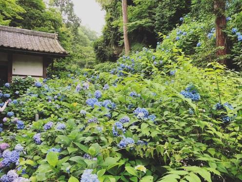Meigetsuin, Hydrangea, Kamakura, Japan